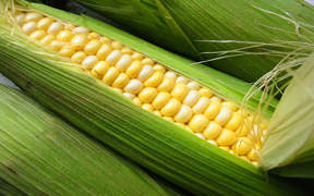 Maize (corn) the corn grown in Peru is not sweet and has very large grains and is not popular outside of Latin America